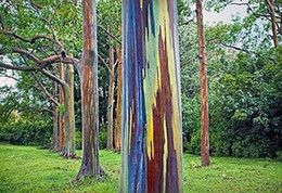 RaRe tRee seeds online shopping - 1000 Eucalyptus deglupta Seeds rainbow tree Rare tree seeds Rare tree