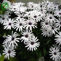 annual plants flowers 2019 - MIX Brachycome Seeds Bonsai Seeds Garden Plants Flower Seeds Annual Herb 30 Particles   lot Q044 cheap annual plants flo
