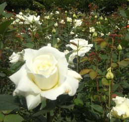 white rose seed wholesalers NZ - White Rose Flower Seeds Garden Flower Seeds Romantic garden decoration plant 20pcs C15
