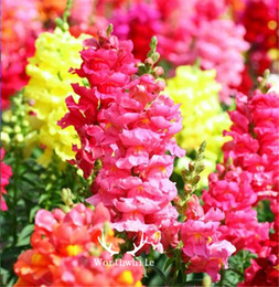 plant potted flower seeds UK - Mixed Color Snapdragon Antirrhinum Flower 1000 Seeds Gorgeous DIY Home Garden Plant for Bonsai Pot Ground