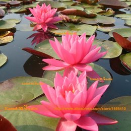 nelumbo seeds UK - 1 Seeds pack, Outdoor Plants Small Water Lily Seeds, Pink Lotus Seeds, Potted Nelumbo Nucifera