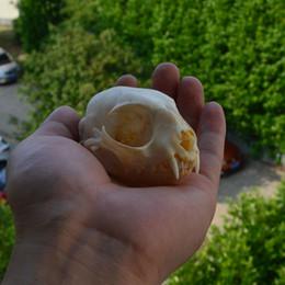 Gourd art online shopping - real genuine animal skull skeleton cat taxidermy supplies art bone vet medicine