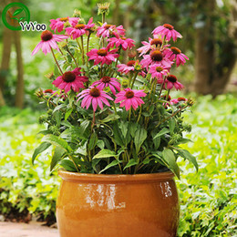 Annual Plants Flowers Canada - Coneflower Seeds Bonsai Seeds Garden Plants Flower Seeds Annual Herb 50 Particles   lot P019