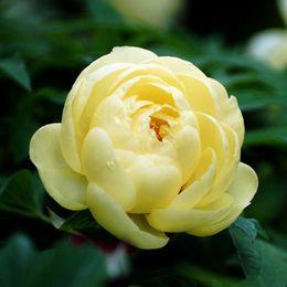 10 pezzi di semi di peonia gialla Bellissimi fiori da giardino e piante di bonsai Semi di paeonia in Offerta
