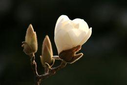 Tree seeds free shipping online shopping - Magnolia denudata MAGNOLIA TREE SEEDS