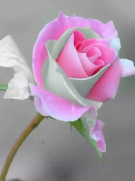 Peaches seeds online shopping - pink peach rose seed Bonsai Flower for Indoor Rooms Seed Particles