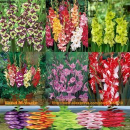 flower gladiolus Canada - 6 Type 20 Seeds pack, Different Colors Gladiolus Flower Seeds, Bonsai Sword Lily Seeds Very BeautIful For Home Garden Planting