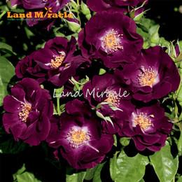 $enCountryForm.capitalKeyWord NZ - China's Climbing Rose Seeds, 100 Seeds pack, Courtyard Plant Purple Rose Seeds Bonsai Home Garden w  Strong Fragrance Bonsai Potted Flower