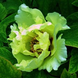 potted peony NZ - Hot Selling Green Peony Flowers Seeds Potted Plants And balcony Flower Chinese Paeonia Suffruticosa Seeds 10 PCS
