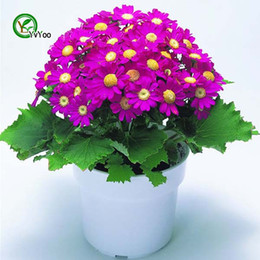 Discount annual plants flowers - Mix Cineraria Seeds Bonsai Seeds Garden Plants Flower Seeds Annual Herb 30 Particles   lot H024