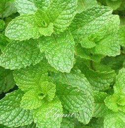 seeds for perennials 2019 - Spearmint Vegetable Mentha spicata Herb Mint 200 Seeds DIY Home Garden Perennial Plant for Cooking Amazing Smell discoun