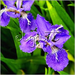 Purple perennial flowers australia new featured purple perennial 20 seeds germanica iris blue purple flower perennial courtyard landscape plant blooms from early spring to early summer mightylinksfo