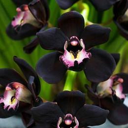 $enCountryForm.capitalKeyWord Canada - 100 PCS Unique Black Cymbidium Faberi Flower Seeds Garden Flower Seeds Flowering Plants Orchid Flower Seeds