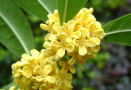 Tree seeds free shipping online shopping - TEA SWEET OLIVE Osmanthus fragrans seeds MIX colors