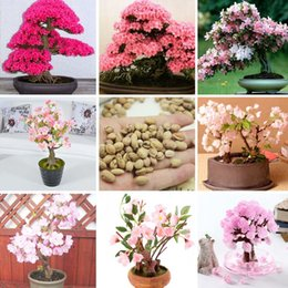 Cherry Blossom Seed NZ - Japanese Sakura Potted 10 PCS 7 Different Varieties of Garden Seed And Garden Potted Red Pink Cherry Blossoms