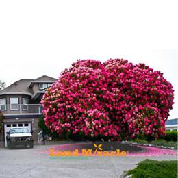 Ingrosso 10 semi / pack, incredibile rosa ciliegio, giapponese Sakura Cherry Blossom albero semi per giardino domestico fai da te, albero di fiori di ciliegio legnoso