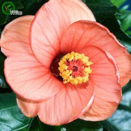 annual plants flowers UK - Orange Hibiscus seeds Bonsai Seeds Garden Plants Flower Seeds Annual Herb 50 Particles   lot q02