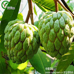 Wholesale Apple Trees UK - Sugar apple Seeds Organic Fruit Tree Seeds Home Garden Fruit Plant ,Can Be Eaten! 20 pcs G023