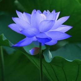 3d9a3caae2b0 Bowl lotus water lily flower Bonsai Lotus seeds Sapphire Lotus garden  decoration plant 10pcs F130