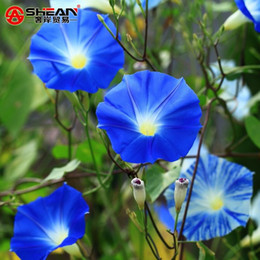 morning glory flower seeds UK - A Package 50 Pieces Seeds Blue Morning Glory Seeds Balcony Bonsai Flower Ipomoea Nil Flowers for DIY Home&garden
