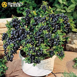 Wholesale A Pack Blueberry Tree Seed Fruit Blueberry Seed Potted Bonsai Tree Seeds