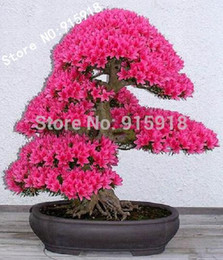 sakura seeds 2019 - Bonsai Tree japanese sakura seeds 10pcs ,bonsai flower Cherry Blossoms shipping