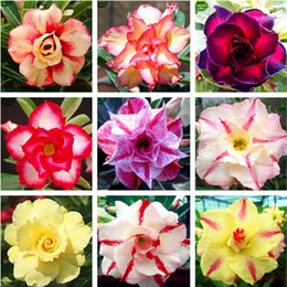 Wholesale Free Shipping Ranton Garden 30 Pcs Mixed Adenium Obesum Seeds Quality Pretty Desert Rose Seed Rare Bonsai Flower Seeds