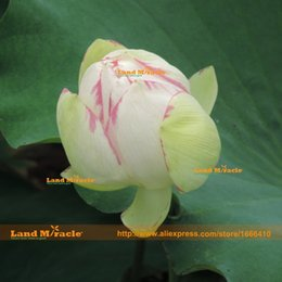 nelumbo seeds UK - Rare White Purple Stripe Lotus Seed, 1 Seeds pack, Double Water Lily Perennial Nelumbo Nucifera Seeds