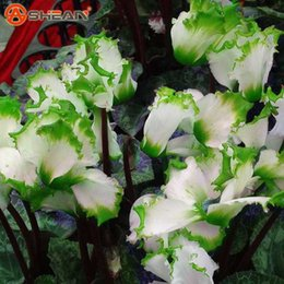 flower garden edging NZ - 100Pcs Green Edge White Cyclamen Flower Seeds Perennial Flowering Plants Cyclamen Seeds for DIY Home & Garden