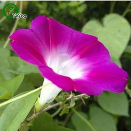 morning glory flower seeds NZ - Morning Glory Seeds Bonsai Flower for Indoor Rooms Seed 100 Particles   lot
