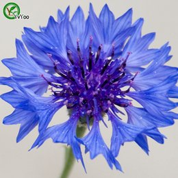 common potted flowers 2020 - Centaurea Cyanus Seeds Flower Pot Planters Garden Bonsai Flower Seed 30 Particles   lot F023 cheap common potted flowers