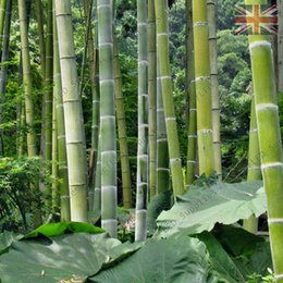 Wholesale 100 Moso Bamboo Seeds Phyllostachys Pubescens Giant Bamboo Seeds Lot of 100 SEEDS Free shipping
