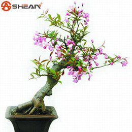 China Hot selling 10 PCS Pink Begonia Flower Seeds 100% True Malus Spectabilis Seeds Potted Begonia Bonsai Tree Seeds DIY Home Garden cheap begonia seeds suppliers