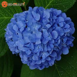 Ingrosso Blu Semi di Ortensia balcone Bonsai Forte Viburnum Ortensia Macrophylla Bonsai Pianta Semi di Fiori 100 Pezzi / lottp