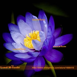 nelumbo seeds UK - Dark Blue Big Flower Lotus Seeds, 1 Seeds pack, Perennial Aquatic Plants Nelumbo Nucifera Seeds