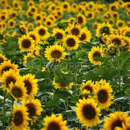 EdiblE gardEning online shopping - Oil Sunflower Flower Seeds for Planting Showy Heirloom Easy growing Home Garden Edible and Ornamental Landscape Flowering Plant
