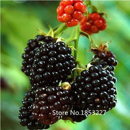 Discount strawberry pack Sale!High Quality Raspberry Seed 200pcs pack Big Raspberry Seeds Fruit Seeds flower pots Strawberry bonsai Blackberry Bo