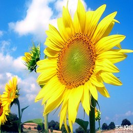 Discount large flower seeds - SUNFLOWER FLOWER SEEDS ORGANIC LARGE BEAUTIFUL VIVID COLORFUL BLOOMS garden decoration flower 20pcs A018