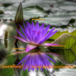 nelumbo seeds UK - Beautiful Old Lavender Purple Lotus Flower Seeds, 1 Seeds pack, Pond Plant Nelumbo nucifera