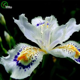 plant potted flower seeds UK - Beautiful White Iris seeds Bonsai Flower Seeds Potted Plants Flowers 30 Particles   Bag a016