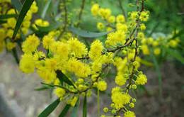 Acacia Tree NZ | Buy New Acacia Tree Online from Best