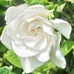 Superior Gardenia Seeds Bonsai Flower Seeds Potted Plants Flowers 20 Particles Bag  W021