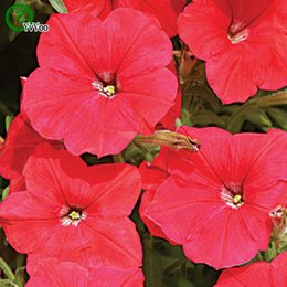 red petunia seeds bonsai flower plant seeds very fragrant 200 particles lot c012