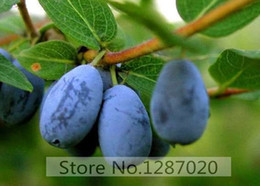 Wholesale 200pcs Genuine Fresh Rare Lonicera caerulea Fruit Seeds chinese blueberry delicious fruit seeds for home garden planting