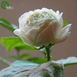 Venta al por mayor de Flor fragante semillas de jazmín promoción balcón bonsai semillas de flores plantas con flores 30 piezas w018