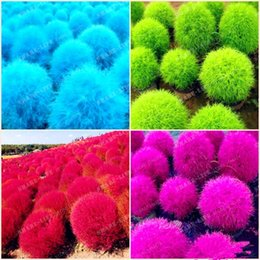 red flower perennials 2019 - Blue Grass seeds Perennial 500pcs Grass Burning Bush Kochia Scoparia Seeds Red Garden Ornamental Easy Grow Bonsai Home G