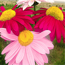 Discount seeds for perennials - Pyrethrum Daisy Flower 50 Seeds Mix Color Easy to Grow from Seeds Hardy Perennial Great for DIY Home Garden or Landscape