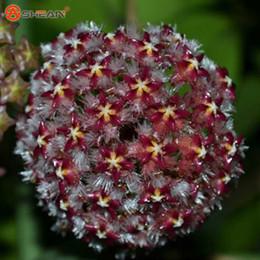 Hoya Seeds Australia New Featured Hoya Seeds At Best Prices