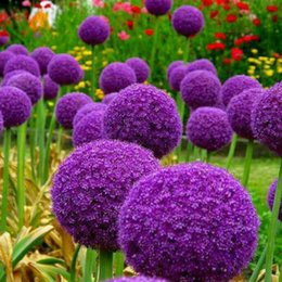rare beautiful flowers 2019 - 100 pcs pack Allium Giganteum Seeds Beautiful Rate 95% Rare Flower For Kid Garden Decoration Bonsai Flower AL06