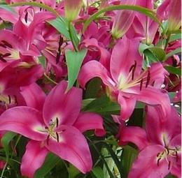balcony desktop 2019 - wholesaleFlower bulbs potted lily bulbs Desktop balcony plants flowers flower seeds 100 splant bonsai